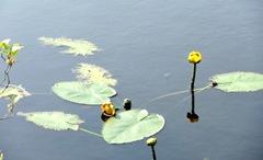 bog stink pot pond lilies