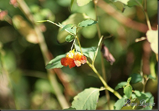RNP_JewelWeed_thumb[6]