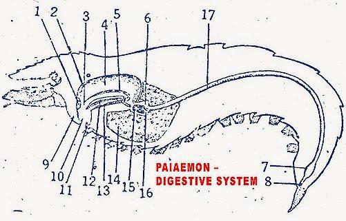 PALAEMON-PRAWN-DIGESTIVE SYSTEM
