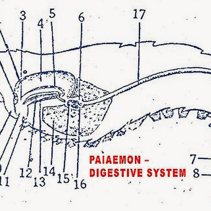 Palaemon prawn digestive system biozoom ccuart Images