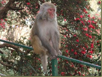 Darjeeling Monkey