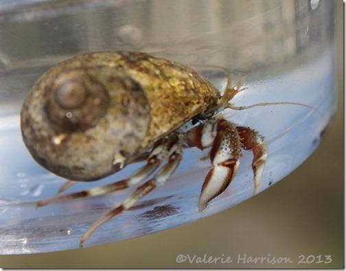 13-hermit-crab