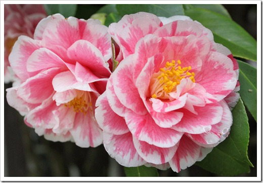 120317_Capitol_Park_Camellia-japonica_58