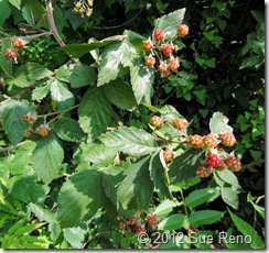 SueReno_WildBlackberries