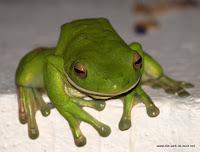 gemütlicher Green Tree Frog