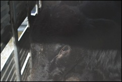 calves in trailer 2