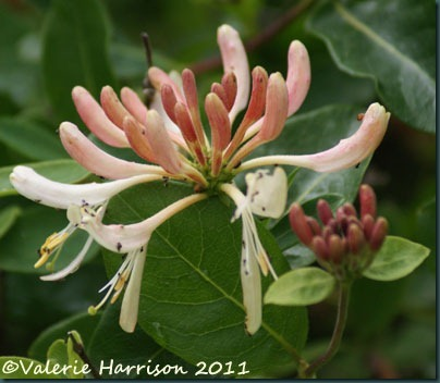 7-honeysuckle