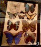 Butterflies  (1)g