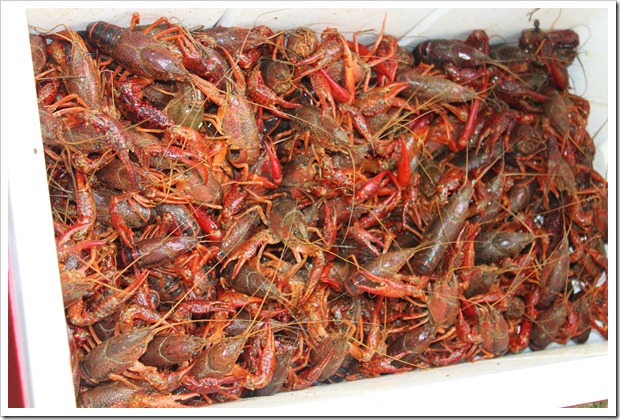 Crawfish 023