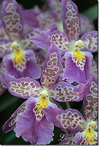 FPC_Orchids_Lilac2