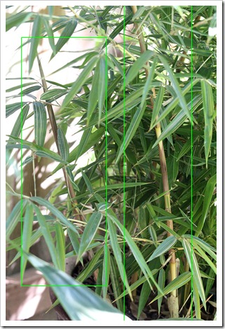 110921_Phyllostachys-bambusoides-Castillon_05