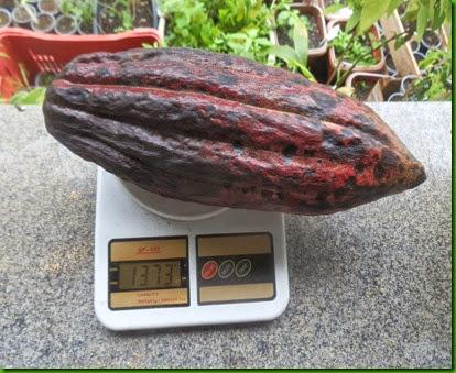Cacao Vermelho Gigante (2)