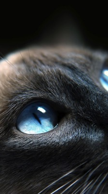 Cat blue eye iphone6 wallpaper