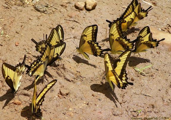 Groupe d'Heraclides astyalus astyalus (GODART, 1819) (= Papilio lycophron lycophron HÜBNER, 1818), mâles, mud-puddlant. Pitangui (MG, Brésil), 30 novembre 2010. Photo : Nicodemos Rosa