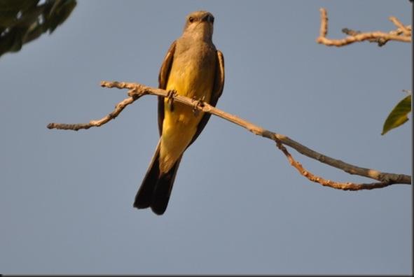 07-01-12 western kingbird 06