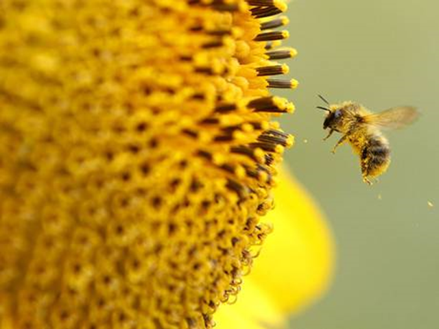 A bee pollinates a sunflower. The European Union voted for a ban on neonicotinoid nerve-agent pesticides blamed for the dramatic decline global bee populations. Photo: Independent