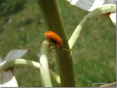yellow_orchid_beetle