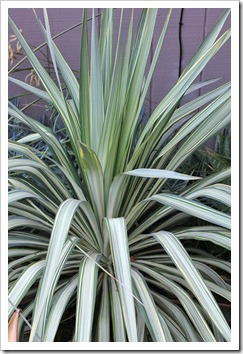 110916_yucca-recurvifolia-margaritaville