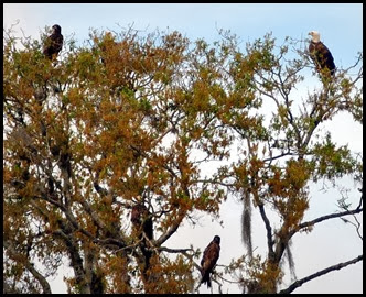 12 - Five Eagles in same tree