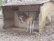 2013.10.26-030 guanaco
