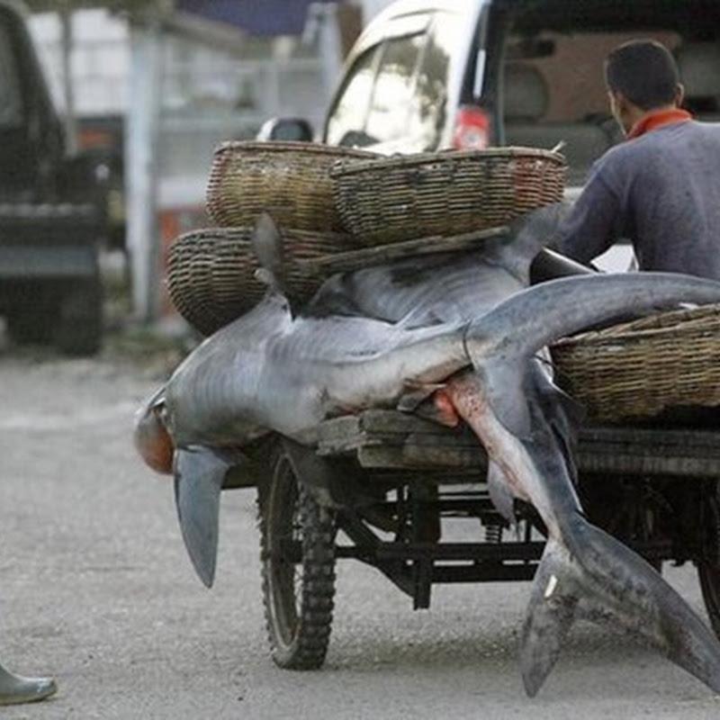 CITES Controla comercio de tiburones y rayas amenazados