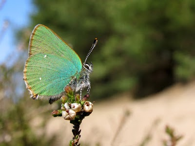 grøn busksommerfugl5.jpg