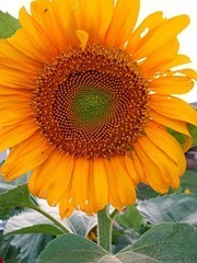 sunflower_thumb1