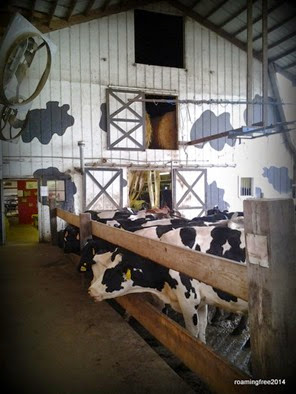The waiting line for the milking barn