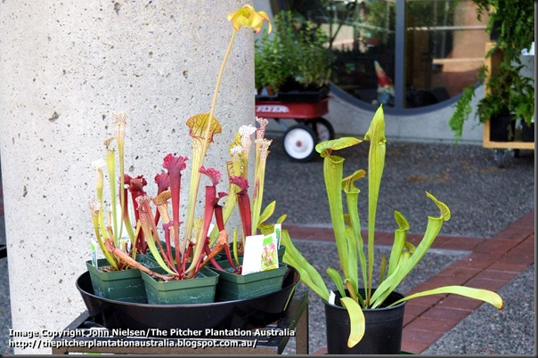 New_West_Sarracenia