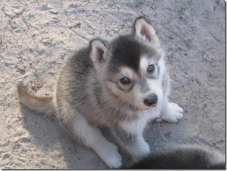 1299378435_173960685_2-Wolf-Hybrid-Puppies-MalamuteTimberRed-Wolf-Jacksonville