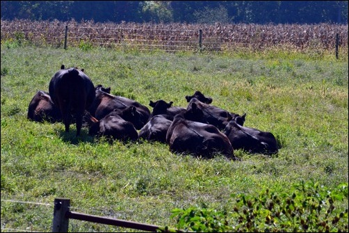 napping cows in the sun