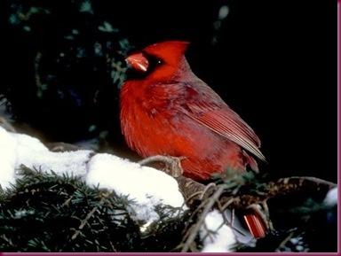 cardinal_489_600x450