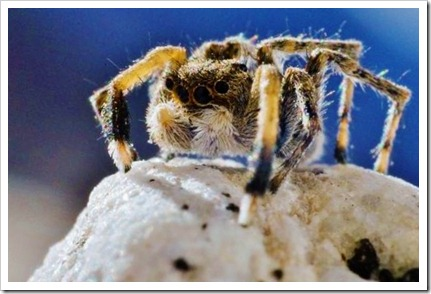 ARKive image GES074071 - Himalayan jumping spider