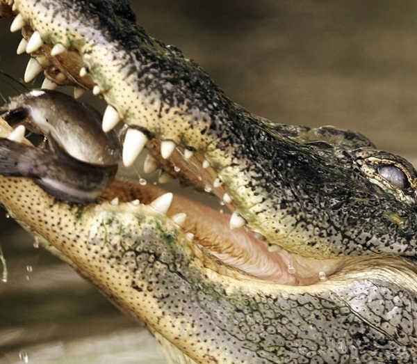 2- Lágrimas de crocodilo