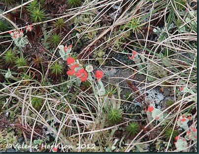 4-lichen Cladonia diversa