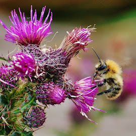 Bee on thistle by Frank Gray - Nature Up Close Gardens & Produce ( nature insects flowers pollen hives )