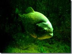 2011.11.25-003 piranha