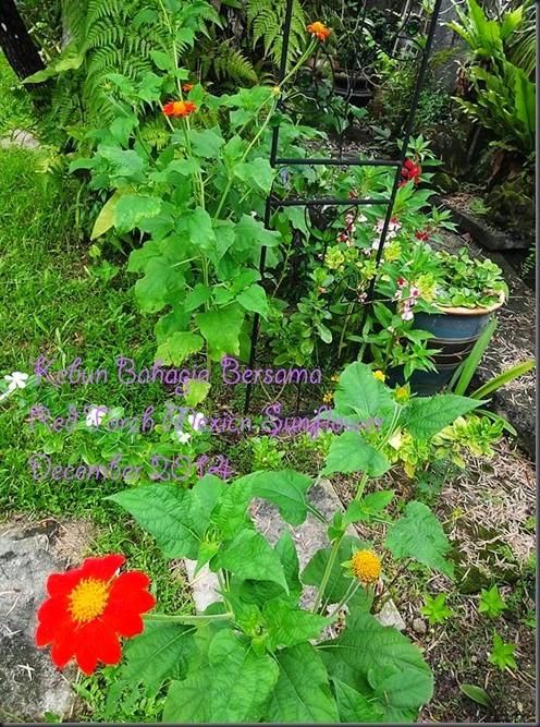 Red Torch Mexico Sunflower biji benih dari kebun bahagia bersama