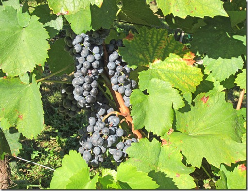 Clusters of St. Croix grapes ready to pick