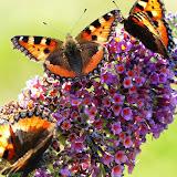 og sommerfugle...