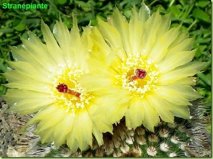 Parodia scopa fiori