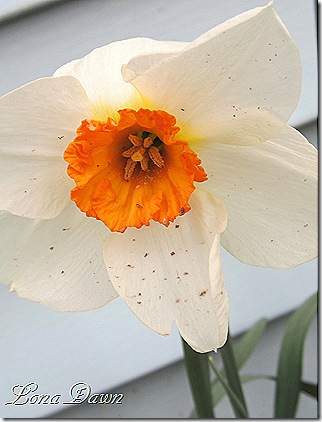 Daffodil_Orange