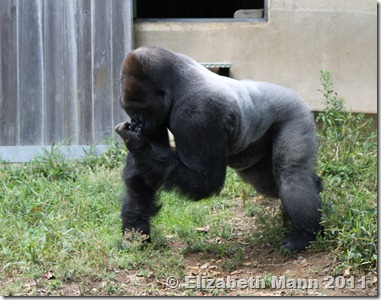 This is a Silverbacked Gorilla.