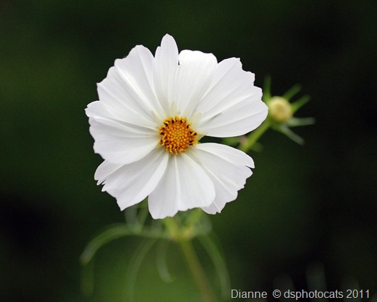 Pretty Cosmos Flower