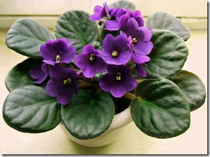 purple-african-violet-flower-anniversary-birthday