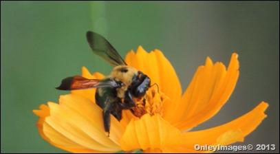 bee on coreopsis0821 (16)