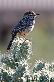 Cactus wren 3-19-2008