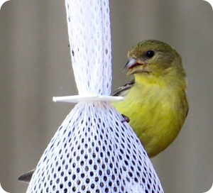 female am goldfinch2