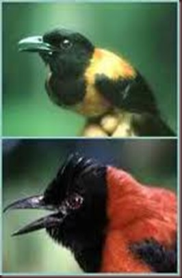 Amazing Pictures of Animals Pitohui Poisonous Bird. Alex (3)