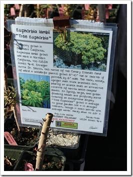 110211_AnniesAnnuals_Euphorbia-lambii_01